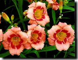 Strawberry Candy Daylily