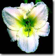 Lime Frost Daylily