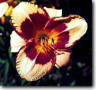 Pirate's Patch Daylily